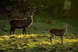 Deer 3196