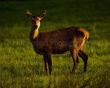 Red Deer 3608