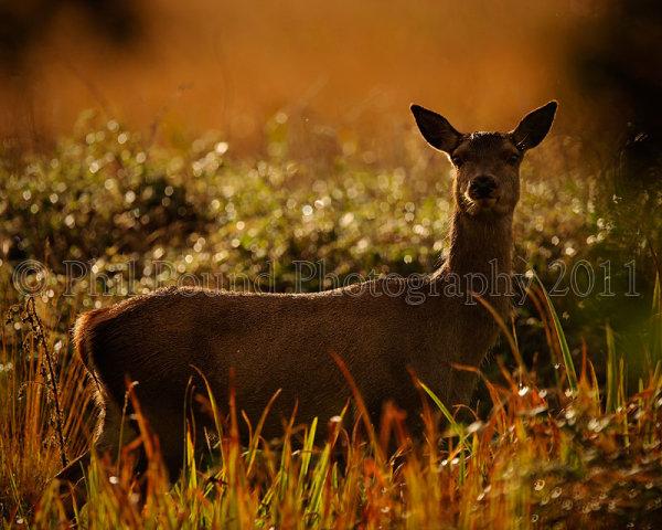 Red Deer 3739