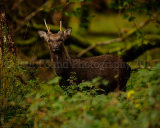 Sika Deer 4042