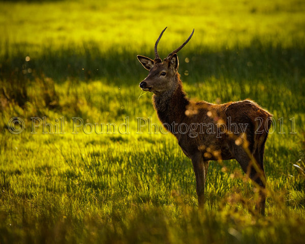Young Stag 5554