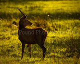 Young Stag 5566