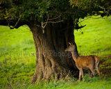 Deer 5795