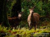 Deer 9323