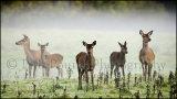 Deer in the mist 8923