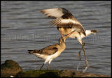 Fighting Black Tailed Godwits 9968