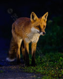 Fox 4213