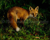 Fox 4339
