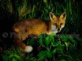 Fox 4458