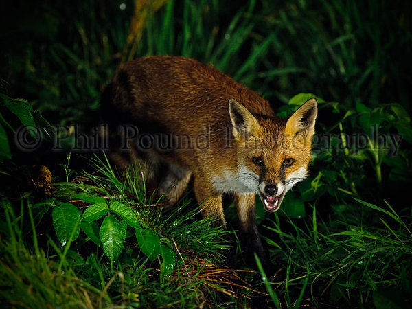Fox 4468