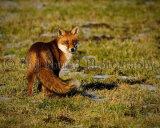 Fox 4558