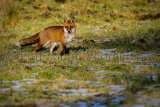 Fox 4585