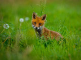 Fox Cub 4882