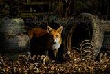 Backyard Fox 7174