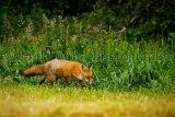 Fox 8731