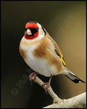 Goldfinch 0480