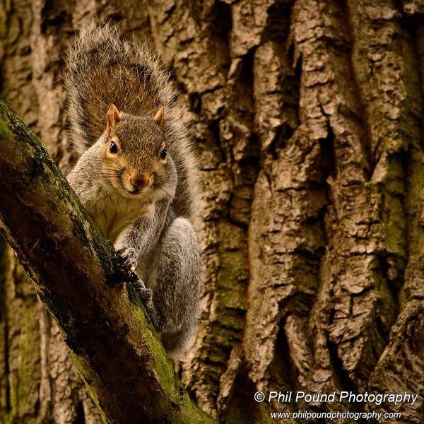 Grey Squirrel 8514