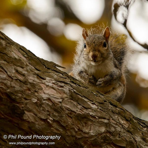 Grey squirrel 8343