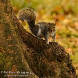 Grey squirrel 8553