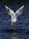 Gull 0053