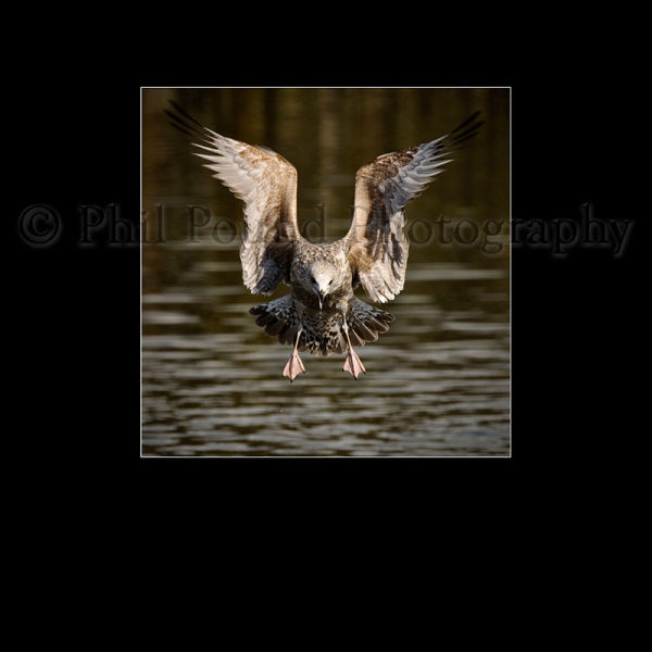 Herring Gull 9839
