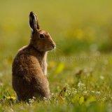 Hare 0124