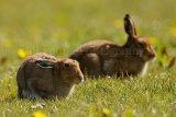 Hare 0210