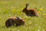 Hare 0331