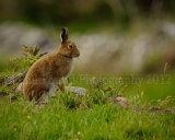 Hare 4220