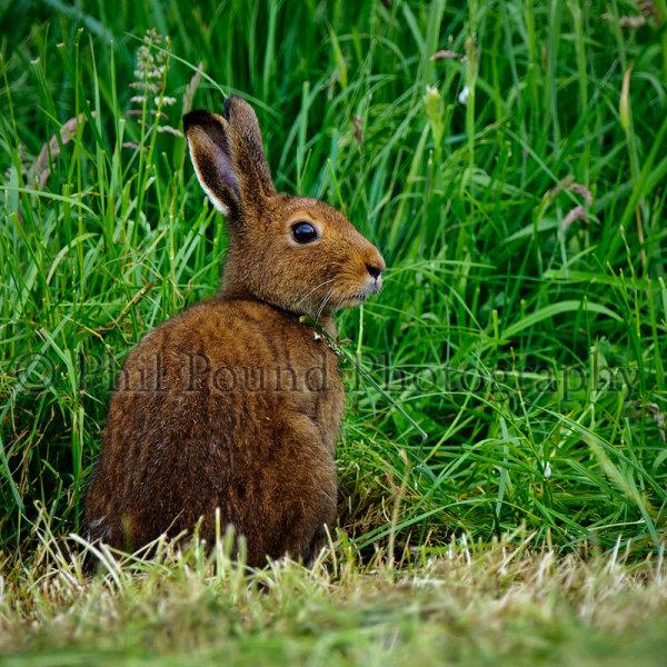 Hare 8588