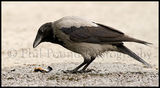 Hooded Crow 5711