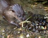 Otter 0189