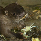 Young Otter 0310