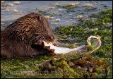 Otter 4687