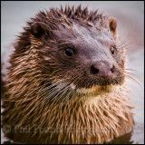 Otter 5732
