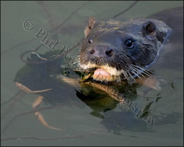 Otter 8622