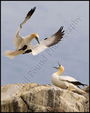 Gannets, Saltee Islands.