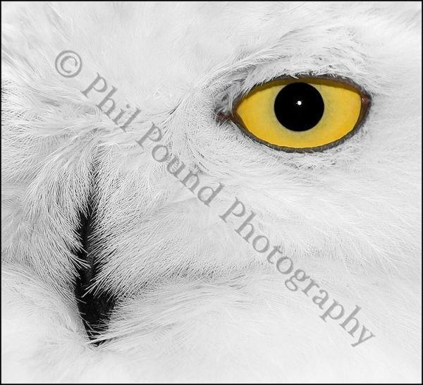 Snowy Owl 0441