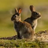 Rabbit 1411
