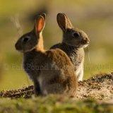 Rabbit 1419
