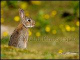 Rabbit 5526