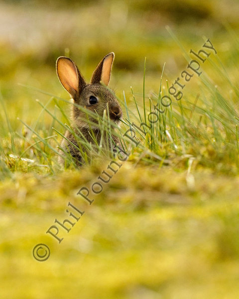 Rabbit 5630