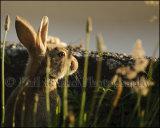 Rabbit 7009