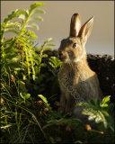 Rabbit 7030