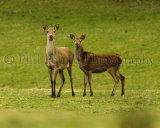 Red Deer 2785