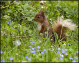 Red Squirrel 2817