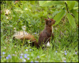 Red Squirrel 2825