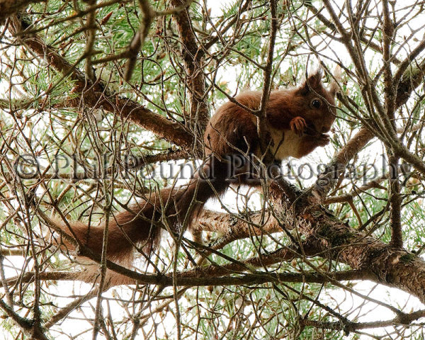 Red Squirrel 9829