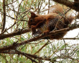 Red Squirrel 9909