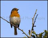 Robin 3178